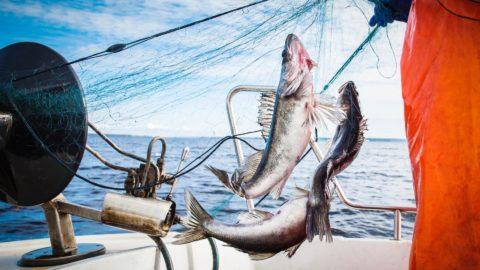 Vastuullisesti kasvatetttu ja pyydettyä kalaa. Kaloja verkossa.